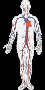 Krvni sistem - grafički prikaz.
