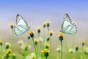 Leptiri i cvet